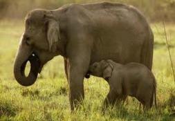 Elephant Suckling